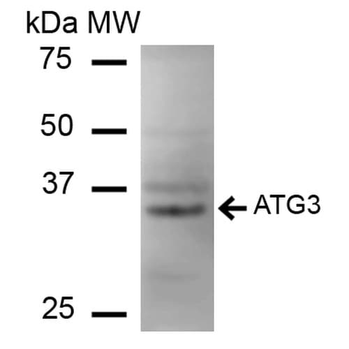 Western blot - Anti-ATG3 antibody (ab223522)