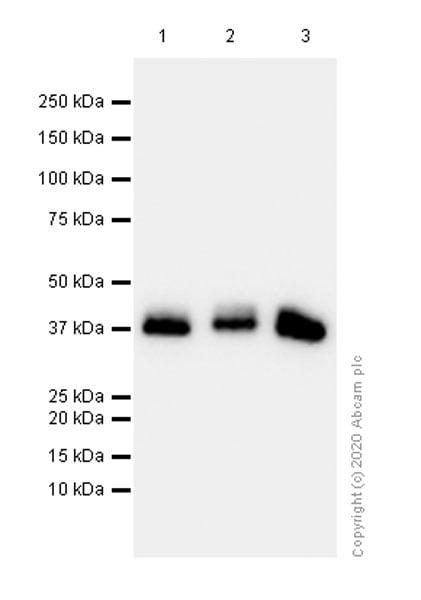Western blot - Anti-Aldolase B + Aldolase C antibody [EPR3138Y] - BSA and Azide free (ab223527)