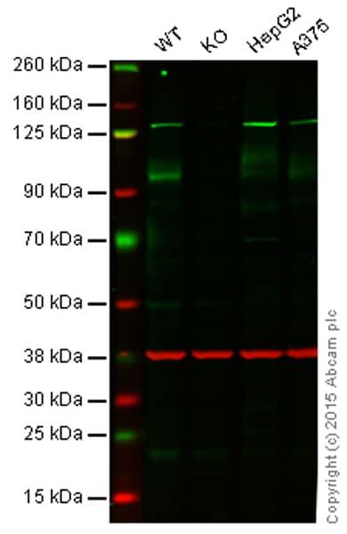 Western blot - Anti-ATG9A antibody [EPR2450(2)] - BSA and Azide free (ab223528)