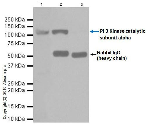Immunoprecipitation - Anti-PI 3 Kinase catalytic subunit alpha/PIK3CA antibody [EPR19693] - BSA and Azide free (ab223532)