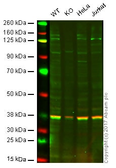 Western blot - Anti-PI 3 Kinase catalytic subunit alpha/PIK3CA antibody [EPR19693] - BSA and Azide free (ab223532)