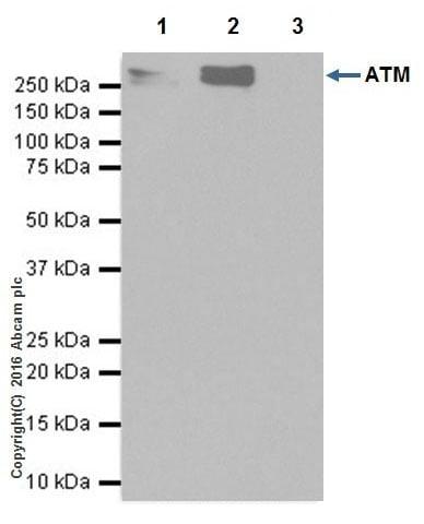 Immunoprecipitation - Anti-ATM antibody [EPR20100] - BSA and Azide free (ab223533)
