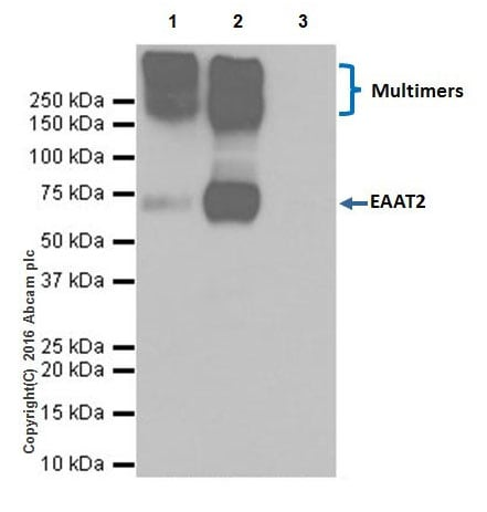 Immunoprecipitation - Anti-EAAT2 antibody [EPR19798] - Low endotoxin, Azide free (ab223538)