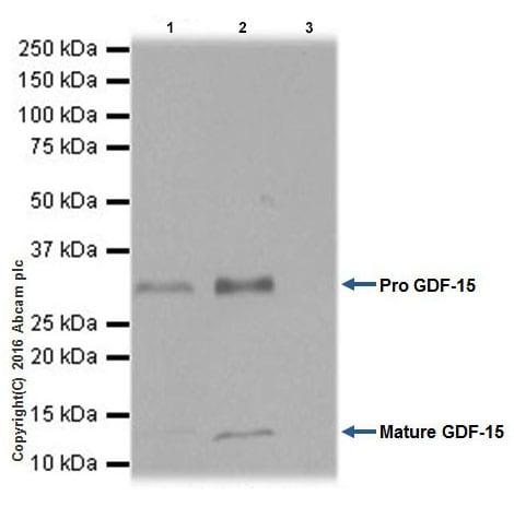 Immunoprecipitation - Anti-GDF15 antibody [EPR19939] - Low endotoxin, Azide free (ab223539)