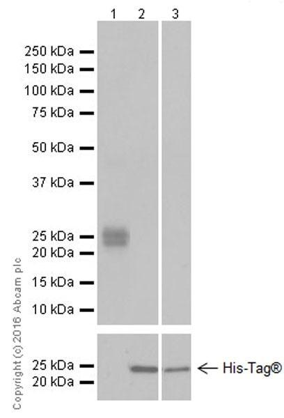 Western blot - Anti-FGF9/GAF antibody [EPR19937] - BSA and Azide free (ab223543)