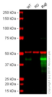 Western blot - Anti-CD40 antibody [EPR20540] - Low endotoxin, Azide free (ab223546)