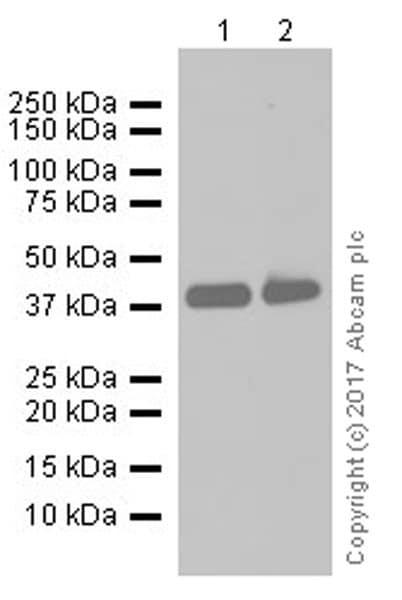 Western blot - Anti-EpCAM antibody [EPR20532-225] (ab223582)