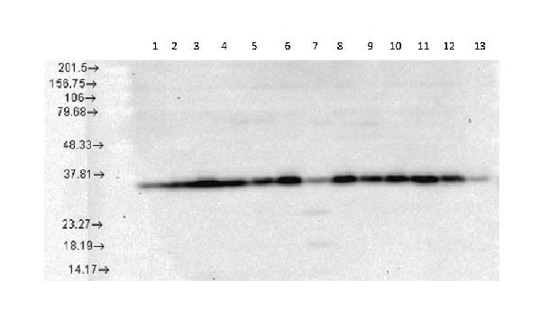 Western blot - Anti-Hsp40 antibody [3B9.E6] (ab223607)