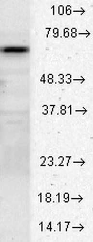 Western blot - Anti-Hsc70 antibody (ab223611)