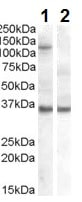 Western blot - Anti-Ago1 antibody (ab223644)