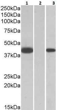 Western blot - Anti-FANCF antibody (ab223648)