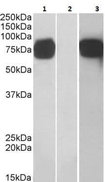 Western blot - Anti-GOLPH2 antibody (ab223652)