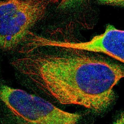 Immunocytochemistry/ Immunofluorescence - Anti-p115-RhoGEF antibody (ab223759)