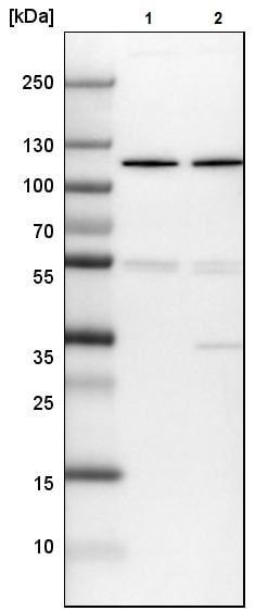 Western blot - Anti-DIS3 antibody (ab223767)
