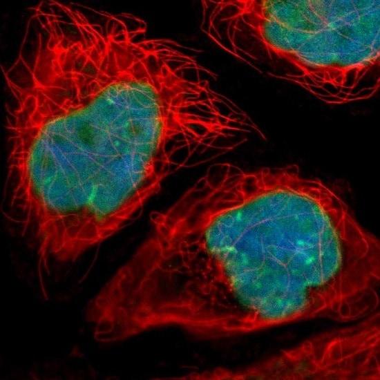 Immunocytochemistry/ Immunofluorescence - Anti-LAP2 antibody (ab223768)