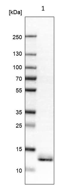 Western blot - Anti-ATPase Inhibitory Factor 1/IF1 antibody (ab223779)