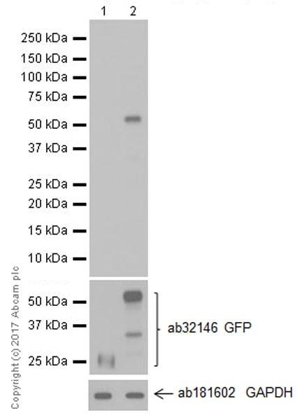 Western blot - Anti-GITR antibody [EPR20566] (ab223841)