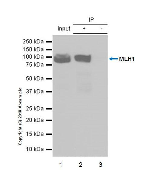 Immunoprecipitation - Anti-MLH1 antibody [EPR20522] (ab223844)
