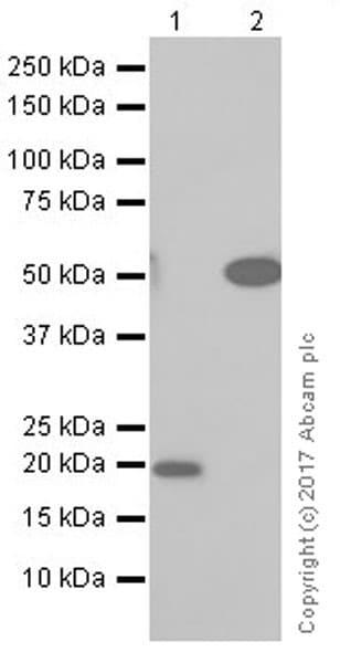 Western blot - Anti-Annexin A10 + Annexin A11 antibody [EPR19442] (ab223848)