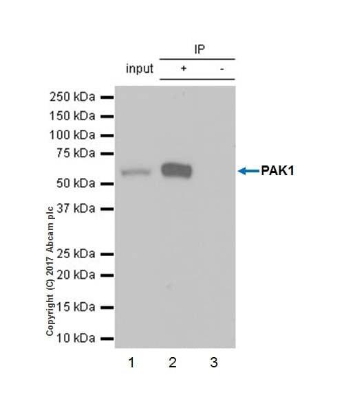 Immunoprecipitation - Anti-PAK1 antibody [EPR20048] (ab223849)