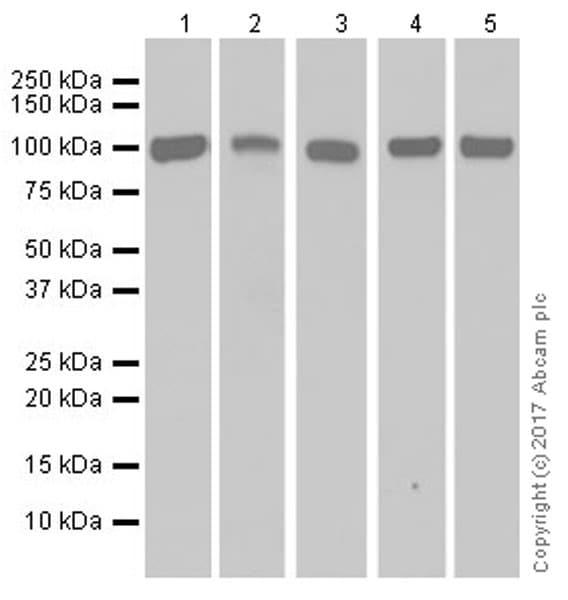 Western blot - Anti-ENT1 antibody [EPR20556] (ab223851)
