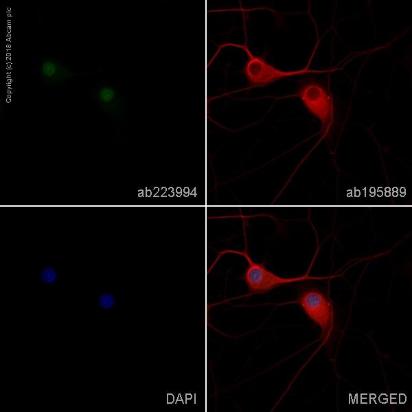 Immunocytochemistry/ Immunofluorescence - Anti-NeuN antibody [EPR12763] - Neuronal Marker (FITC) (ab223994)