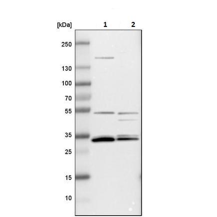 Western blot - Anti-Apolipoprotein O like antibody (ab224036)