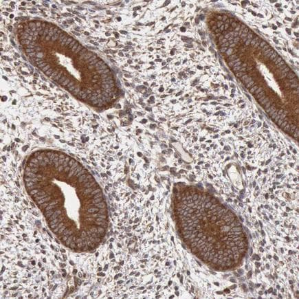 Immunohistochemistry (Formalin/PFA-fixed paraffin-embedded sections) - Anti-STX17 antibody (ab224042)