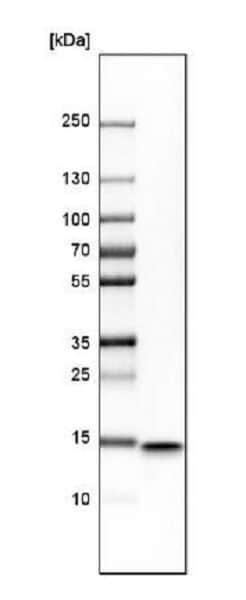 Western blot - Anti-IFITM1 antibody (ab224063)