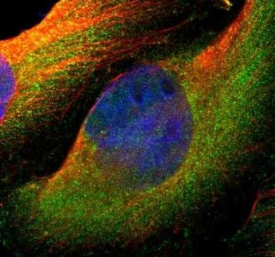 Immunocytochemistry/ Immunofluorescence - Anti-SV2A antibody (ab224073)