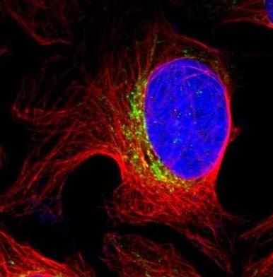 Immunocytochemistry/ Immunofluorescence - Anti-PTPIP51 antibody (ab224081)