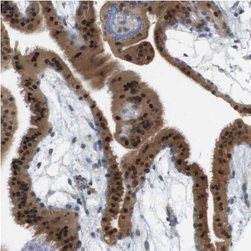 Immunohistochemistry (Formalin/PFA-fixed paraffin-embedded sections) - Anti-BBF2H7 antibody - N-terminal (ab224096)