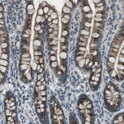 Immunohistochemistry (Formalin/PFA-fixed paraffin-embedded sections) - Anti-PANDER antibody (ab224100)