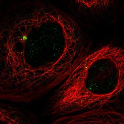 Immunocytochemistry/ Immunofluorescence - Anti-Pericentrin antibody (ab224101)