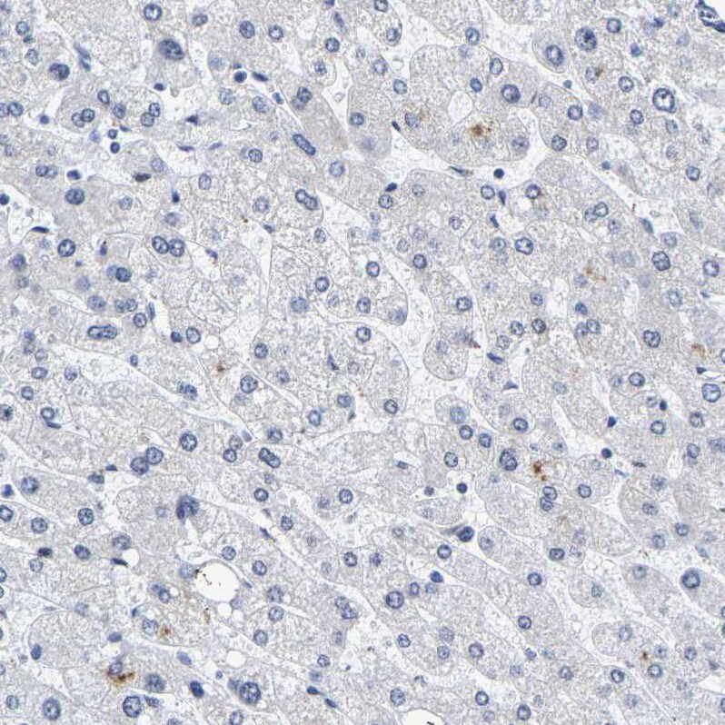 Immunohistochemistry (Formalin/PFA-fixed paraffin-embedded sections) - Anti-Pericentrin antibody (ab224101)