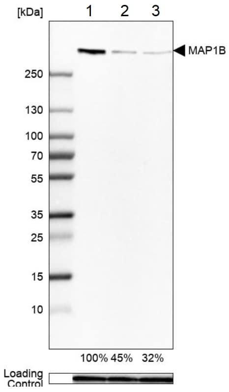 Western blot - Anti-MAP1B antibody (ab224115)