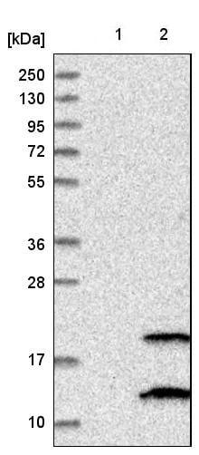 Western blot - Anti-PIGP antibody (ab224128)