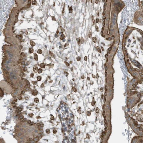 Immunohistochemistry (Formalin/PFA-fixed paraffin-embedded sections) - Anti-cGAS antibody (ab224144)