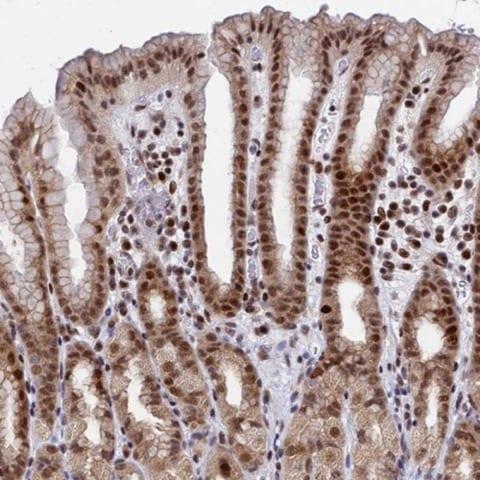 Immunohistochemistry (Formalin/PFA-fixed paraffin-embedded sections) - Anti-SPG48 antibody (ab224153)