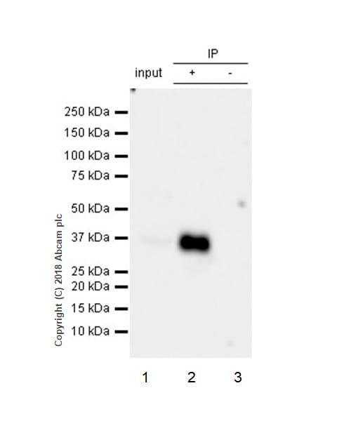 Immunoprecipitation - Anti-CD7 antibody [EPR22065] (ab224194)