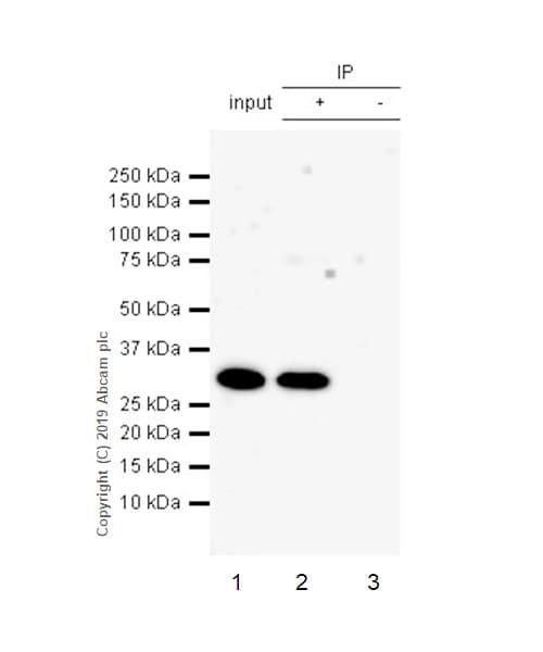 Immunoprecipitation - Anti-IL-26 antibody [EPR22268-141] (ab224198)