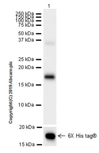 Western blot - Anti-IL-26 antibody [EPR22268-141] (ab224198)