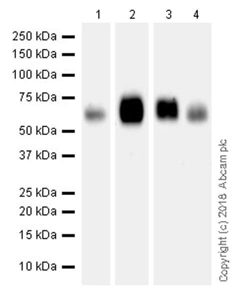 Western blot - Anti-SLAMF6 antibody [EPR22170] (ab224201)