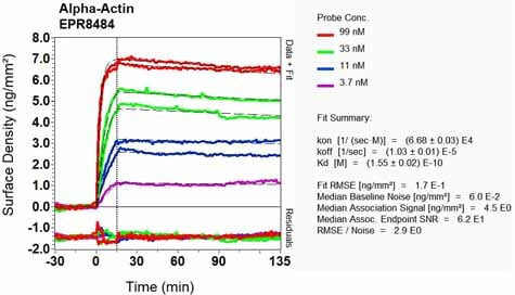 OI-RD Scanning - Anti-muscle Actin antibody [EPR8484] - BSA and Azide free (ab224207)