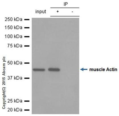 Immunoprecipitation - Anti-muscle Actin antibody [EPR8484] - BSA and Azide free (ab224207)