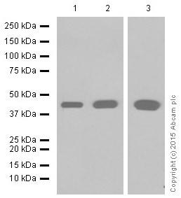 Western blot - Anti-muscle Actin antibody [EPR8484] - BSA and Azide free (ab224207)