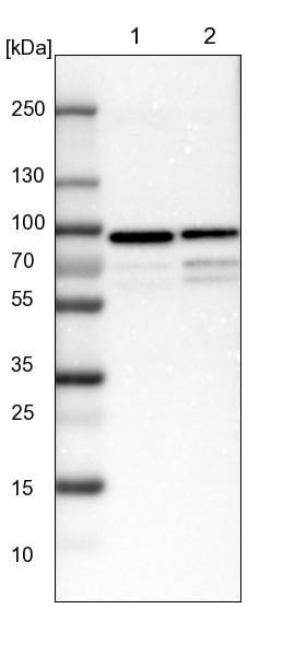 Western blot - Anti-FIAT antibody (ab224215)
