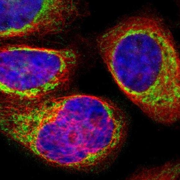 Immunocytochemistry/ Immunofluorescence - Anti-SYNJ2BP antibody - N-terminal (ab224217)