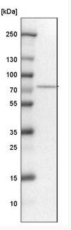 Western blot - Anti-TRIOBP antibody (ab224226)