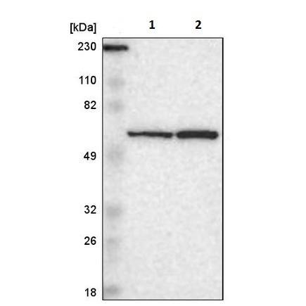 Western blot - Anti-SMARCD1 antibody (ab224229)
